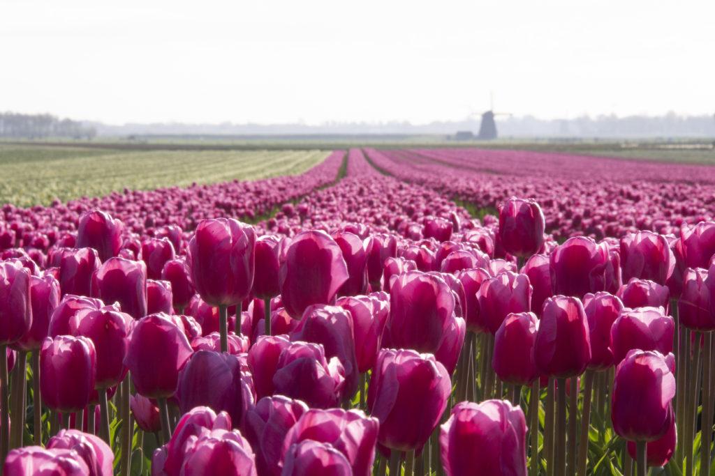 Tulpenveld in Noord-Holland met een molen aan de horizon.
